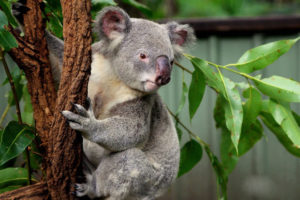 LONE PINE KOALA SANCTUARY: Meet and interact with adorable animals